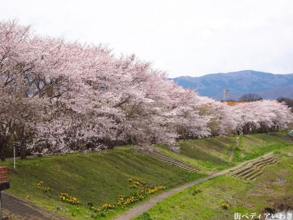いわき市役所裏新川沿いの桜1