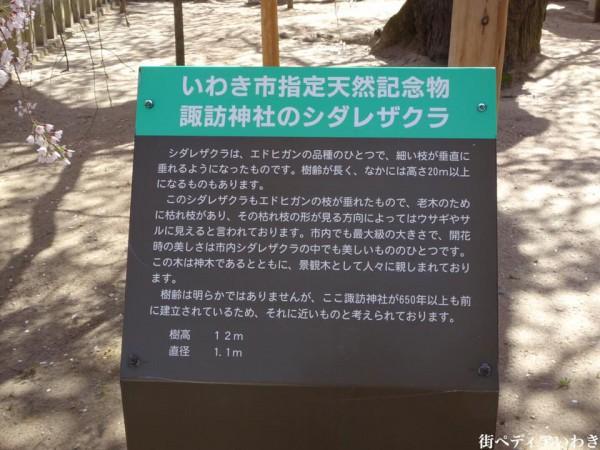 福島県いわき市小川町小川諏訪神社のしだれ桜4