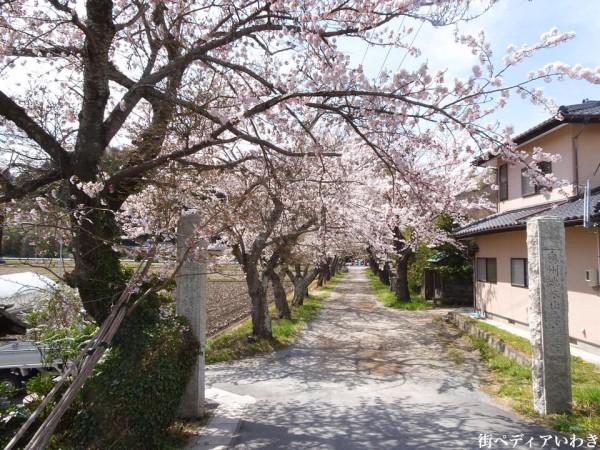 福島県いわき市平山崎浄土宗の寺院-梅の名所専称寺の桜3