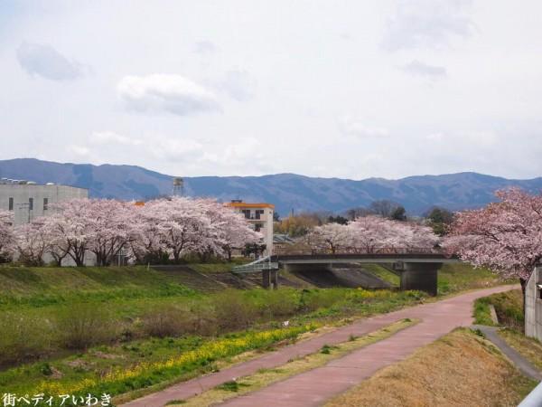 いわき市役所裏新川沿いの桜7
