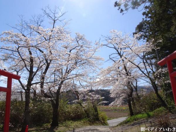 福島県いわき市小川町小川諏訪神社のしだれ桜6