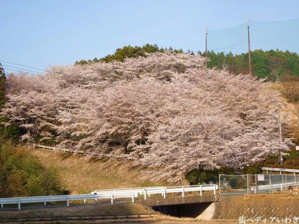 福島県いわき市のゴルフ練習場ゴルフスクール荒川ゴルフクラブの桜5