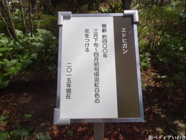 福島県いわき市三島八幡神社の桜(シダレザクラ)6