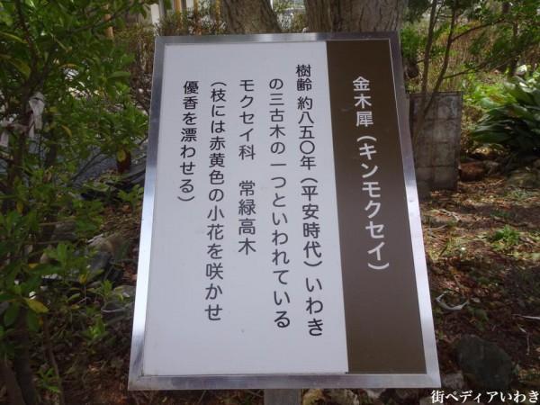 福島県いわき市三島八幡神社の桜(シダレザクラ)8