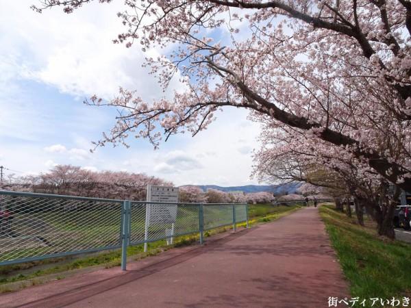 いわき市役所裏新川沿いの桜3