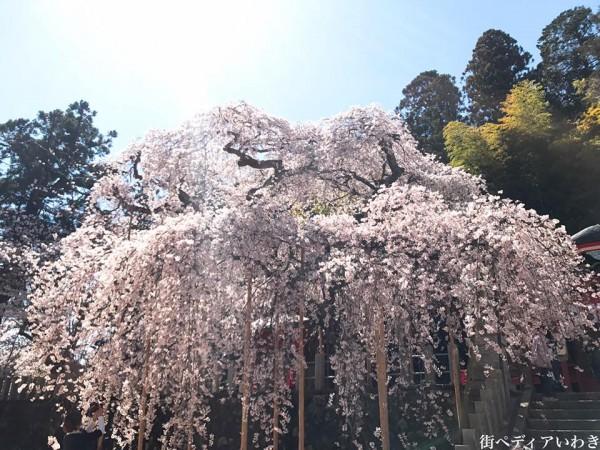 福島県いわき市小川町小川諏訪神社のしだれ桜14