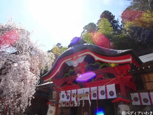 福島県いわき市小川町小川諏訪神社のしだれ桜3