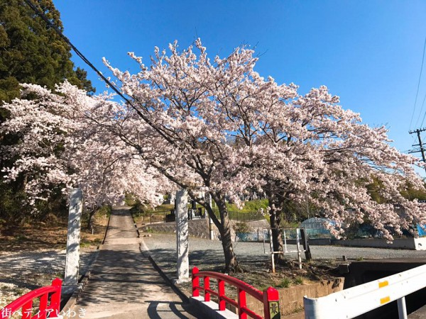 福島県いわき市四倉町大森の月田寺の桜3