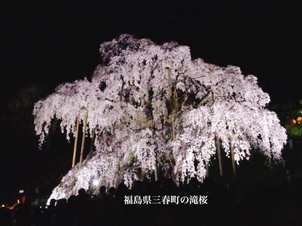 福島県三春町の滝桜日本の三大桜国の天然記念物2