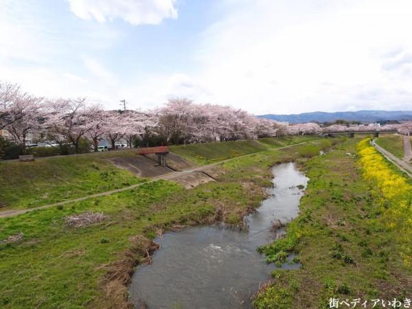 いわき市役所裏新川沿いの桜2