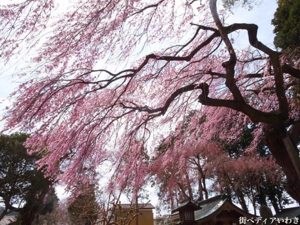 福島県いわき市三島八幡神社の桜(シダレザクラ)3