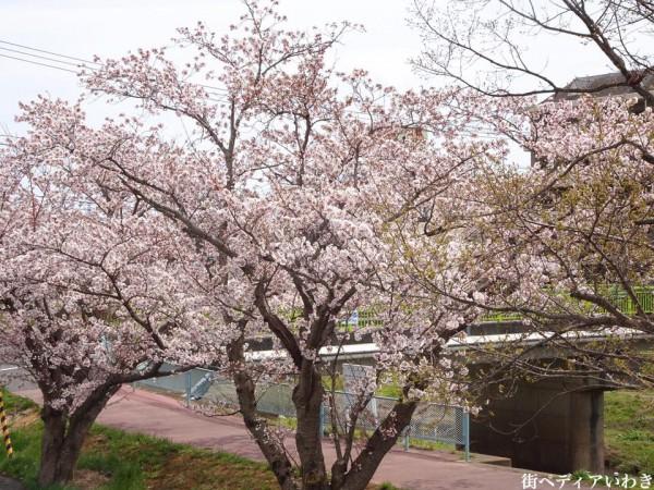 いわき市役所裏新川沿いの桜6