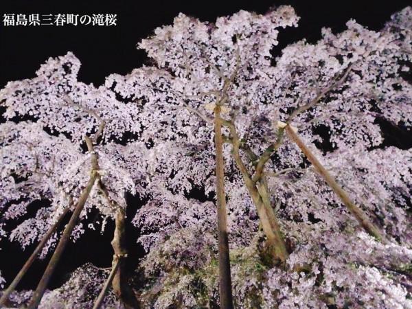 福島県三春町の滝桜日本の三大桜国の天然記念物1