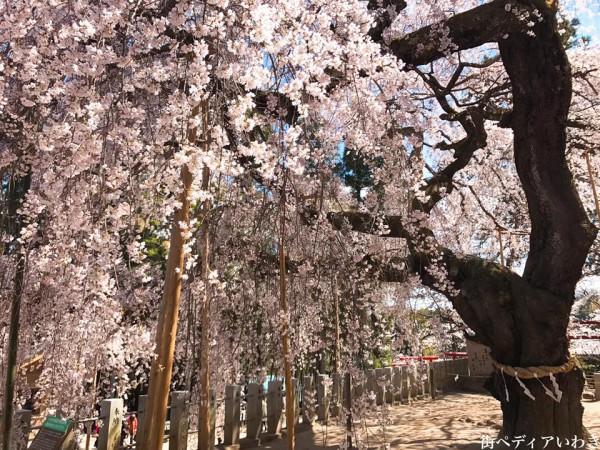 福島県いわき市小川町小川諏訪神社のしだれ桜13