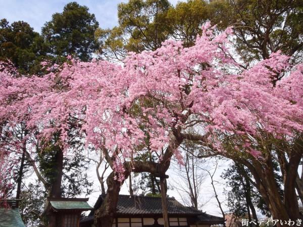 福島県いわき市三島八幡神社の桜(シダレザクラ)2