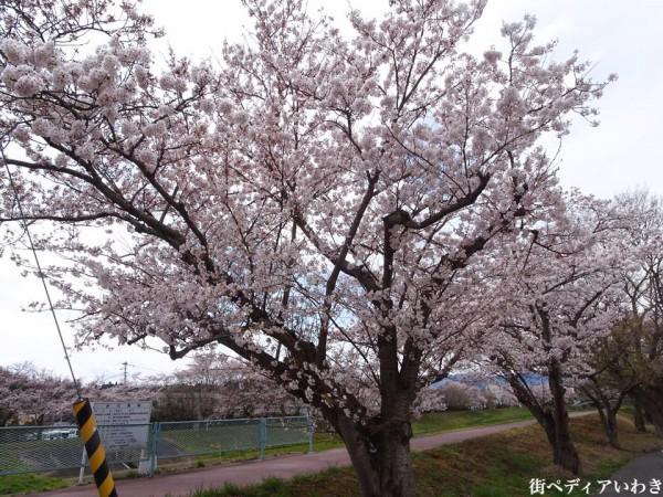 いわき市役所裏新川沿いの桜5