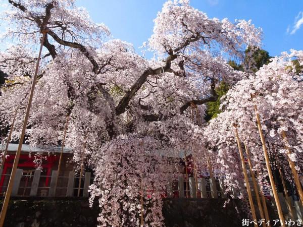 福島県いわき市小川町小川諏訪神社のしだれ桜9