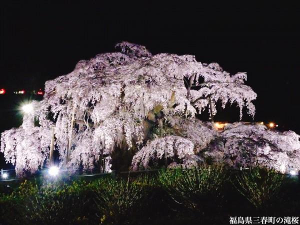 福島県三春町の滝桜日本の三大桜国の天然記念物4