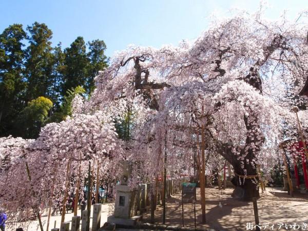福島県いわき市小川町小川諏訪神社のしだれ桜10