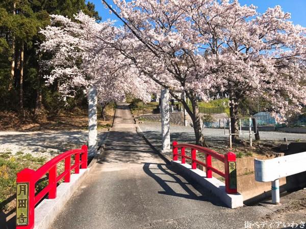 福島県いわき市四倉町大森の月田寺の桜1