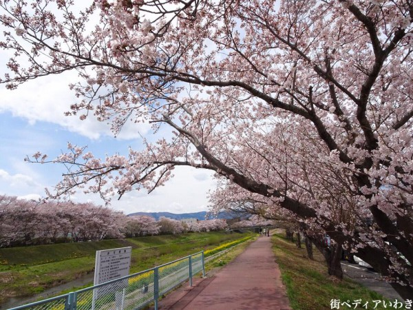 いわき市役所裏新川沿いの桜4