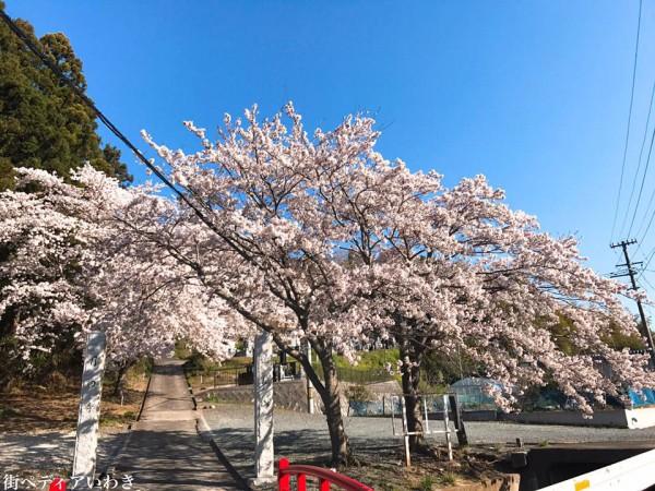 福島県いわき市四倉町大森の月田寺の桜2