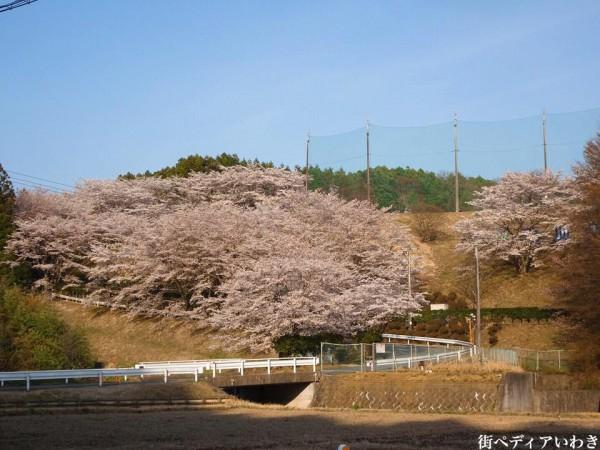 福島県いわき市のゴルフ練習場ゴルフスクール荒川ゴルフクラブの桜4