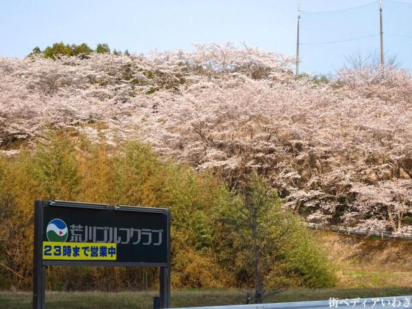 福島県いわき市のゴルフ練習場ゴルフスクール荒川ゴルフクラブの桜2