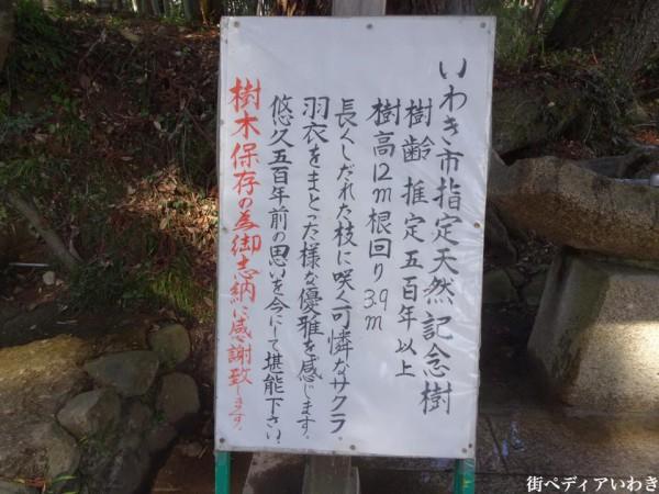 福島県いわき市小川町小川諏訪神社のしだれ桜15