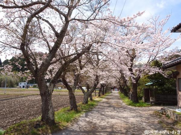 福島県いわき市平山崎浄土宗の寺院-梅の名所専称寺の桜2