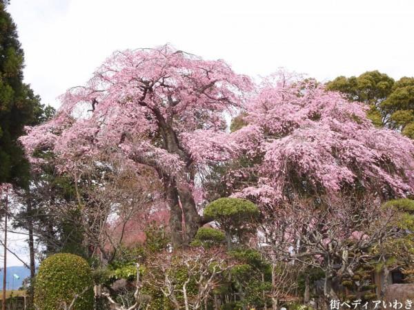 福島県いわき市三島八幡神社の桜(シダレザクラ)4