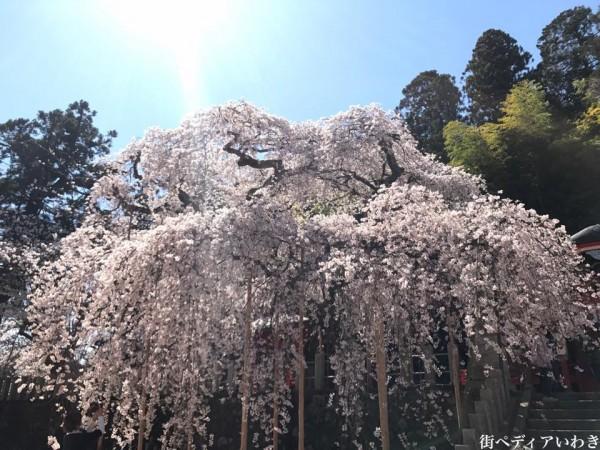 福島県いわき市小川町小川諏訪神社のしだれ桜2