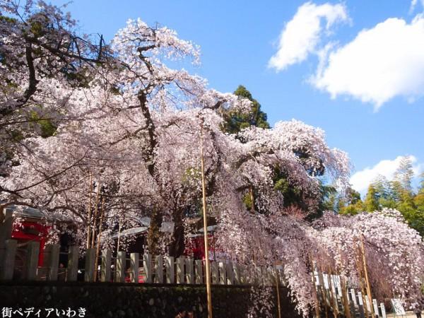 福島県いわき市小川町小川諏訪神社のしだれ桜12