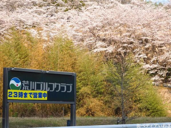 福島県いわき市のゴルフ練習場ゴルフスクール荒川ゴルフクラブの桜1