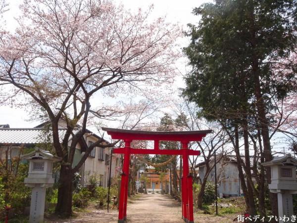 福島県いわき市三島八幡神社の桜(シダレザクラ)1