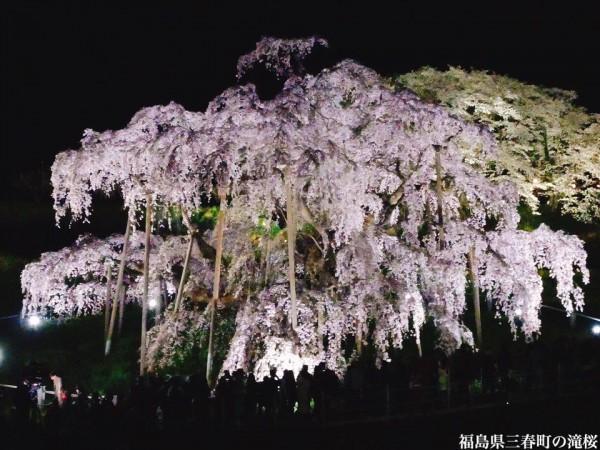福島県三春町の滝桜日本の三大桜国の天然記念物3