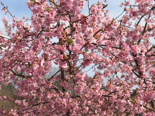 福島県いわき市21世紀の森公園のコミュニティ広場近くの桜が満開-2018-53