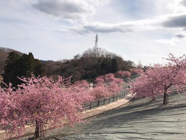 福島県いわき市21世紀の森公園のコミュニティ広場近くの桜が満開-2018-55
