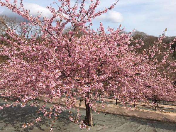 福島県いわき市21世紀の森公園のコミュニティ広場近くの桜が満開-2018-51
