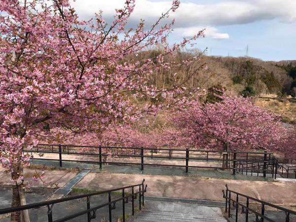 福島県いわき市21世紀の森公園のコミュニティ広場近くの桜が満開-2018-45
